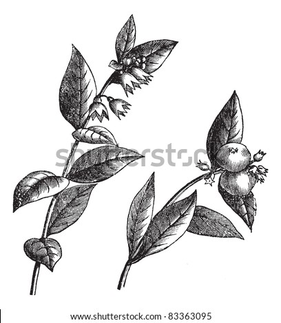 Symphoricarpos racemosus or Snowberry or Waxberry or Ghostberry, vintage engraved illustration. Trousset encyclopedia (1886 - 1891).