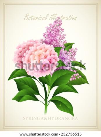 Syringa and Hydrangea. Botanical Vector illustration - stock vector