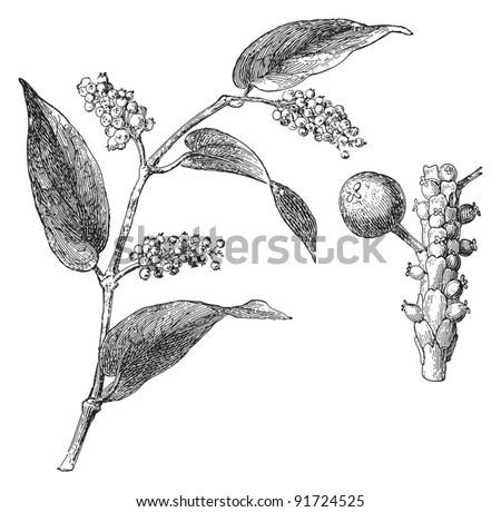 Tailed Pepper - Piper Cubeba (Medicinal plant) - Vintage illustration / illustration from Meyers Konversations-Lexikon 1897 - stock vector