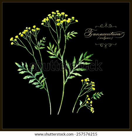 Tansy, botanical vector illustration. Watercolor painting. Calligraphic text. - stock vector