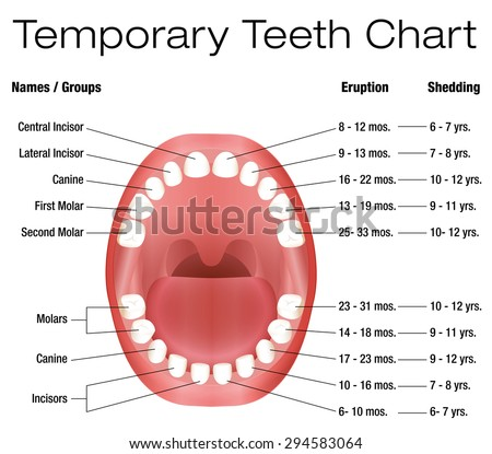 Diagram of teeth permanent temporary online schematic diagram temporary teeth names groups period eruption stock photo photo rh shutterstock com diagram of your teeth diagram of teeth numbers ccuart Gallery
