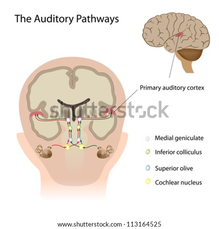 The auditory pathways - stock vector