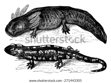 The axolotl from Mexico before and after transformation. Metamorphosis of an aquatic animal breathing through gills, a reptile land, vintage engraved illustration. Earth before man - 1886. - stock vector