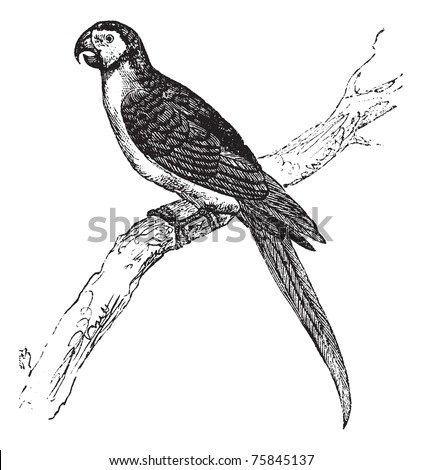 The Blue-and-Yellow Macaw, Ara ararauna, Blue-and-gold macaw or simply Macaw vintage engraving. Old engraved illustration of a Blue-and-Yellow Macaw sitting on a tree branch. - stock vector