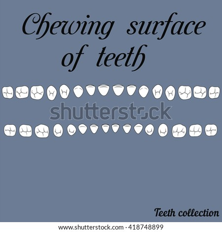 The chewing surface of teeth human fisura- incisor, canine, premolar, molar upper and lower jaw. Vector illustration for print or design of the dental clinic - stock vector