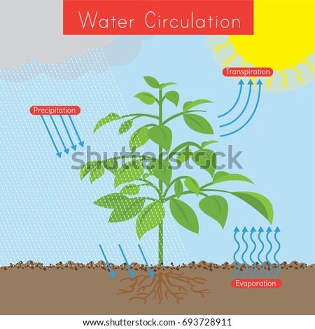 Diagram shows how water circulates within stock vector 693728911 the diagram shows how water circulates within a plant the sun is in the top ccuart Image collections