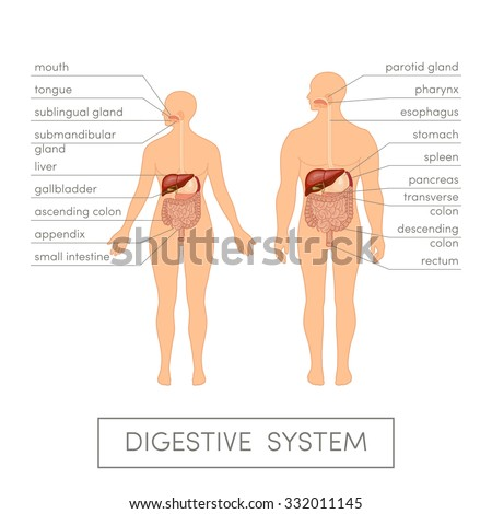 The digestive system of a human. Cartoon vector illustration for medical atlas or educational textbook. Male and female physiology. - stock vector