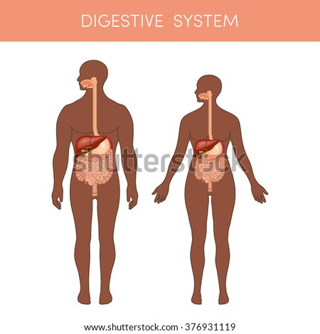 The digestive system of a human. Cartoon vector illustration for medical atlas or educational textbook. Physiology of a black male and female. - stock vector