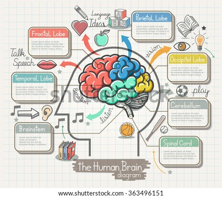 brain anatomy stock images, royalty-free images & vectors, Human Body