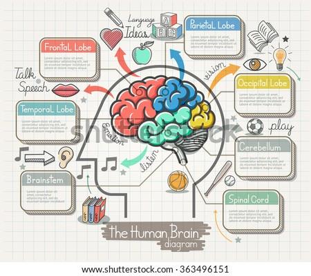 The Human Brain Diagram Doodles Icons Set. Vector Illustration. - stock vector