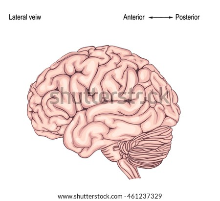 the human brain is. side view. illustration