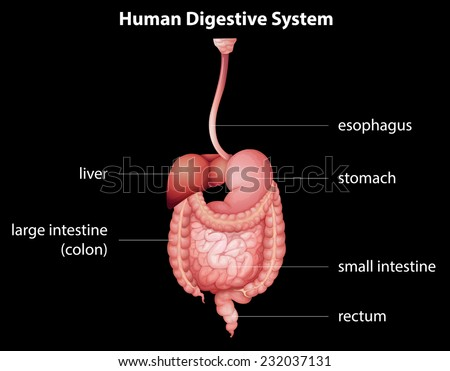 The human digestive system - stock vector