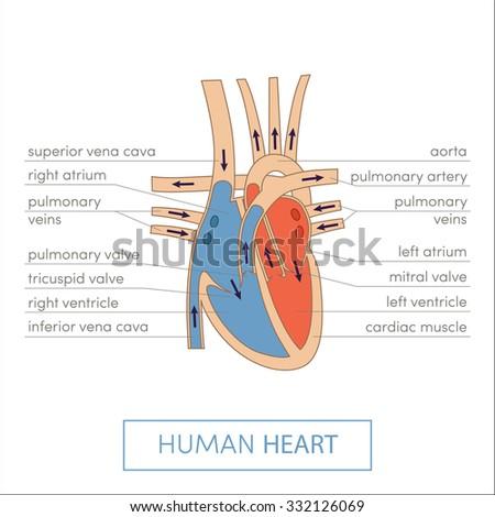 The human heart anatomy. Cartoon vector illustration for medical atlas or educational textbook. Cross-section - stock vector