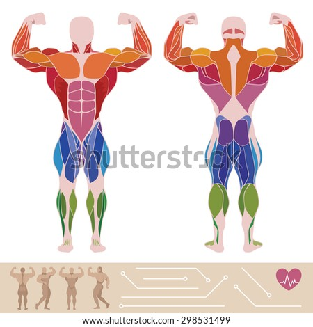 The human muscular system, anatomy, posterior and anterior view, flat style, infographics, vector - stock vector