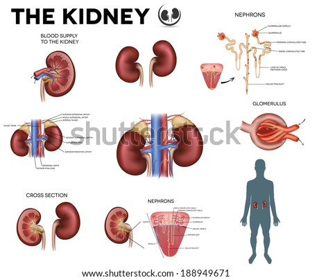 The kidney big colorful poster, detailed diagram. - stock vector