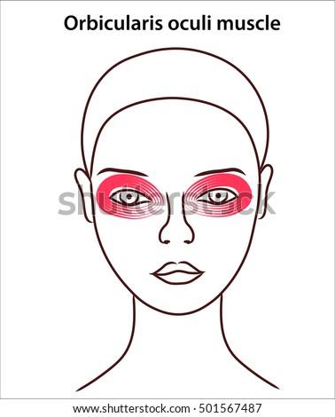 Location Orbicularis Oculi Muscle On Face Vectores En Stock ...