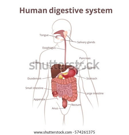 Structure Female External Genitalia Medical Poster Stock