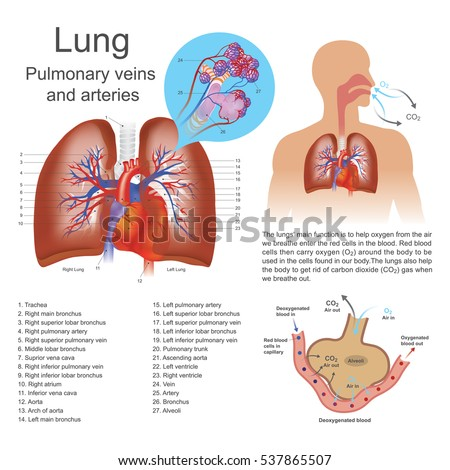 Lungs primary organs respiration humans many em vetor stock the lungs are the primary organs of respiration in humans and many other animals including a ccuart Gallery