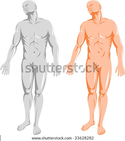 The male human anatomy facing front - stock vector