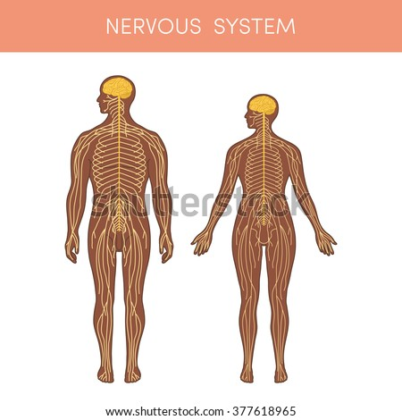 The nervous system of a human. Cartoon vector illustration for medical atlas or educational textbook. Physiology of a black male and female. - stock vector