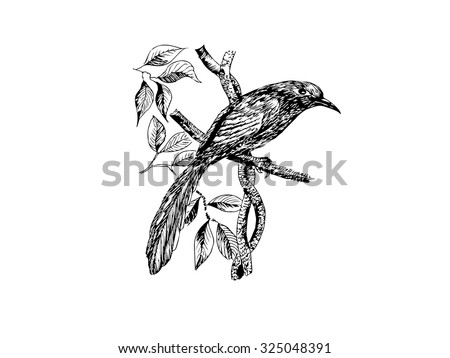 The original drawing vector of birds on white paper, Green-billed Malkoha