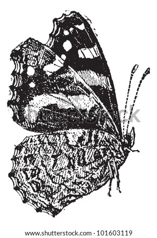 The Red Admiral (Vanessa atalanta) a colorful butterfly, vintage engraved illustration. Dictionary of words and things - Larive and Fleury - 1895. - stock vector