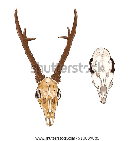 The skulls of female and male deer with antlers. Vector illustration, design element set.