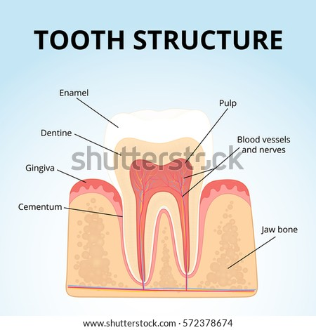 Structure Human Teeth Medical Diagram Structure Stock Vector