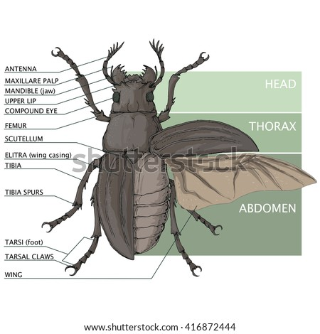 Structure beetle vector diagram stock vector 2018 416872444 vector diagram ccuart Image collections