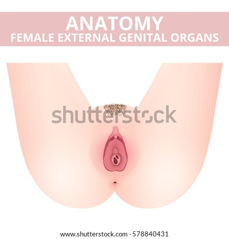 Structure Female External Genitalia Medical Poster Stock Photo ...