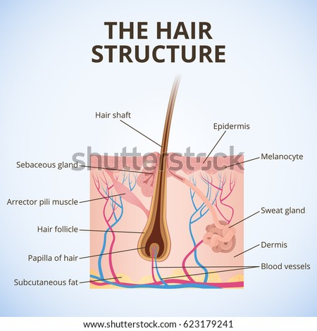 Human Hair Structure Diagram - Block And Schematic Diagrams •