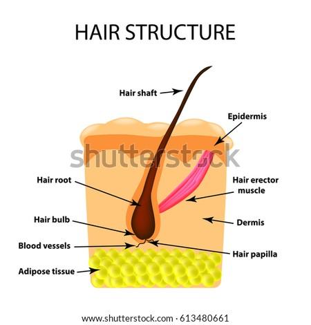 Hair structure anatomy