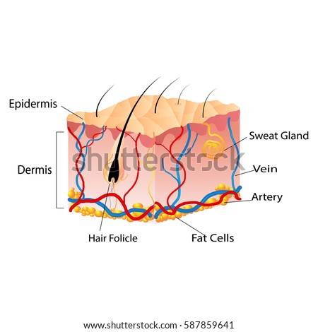Structure Skin Cells Under Skin Show Stock Vector Royalty Free