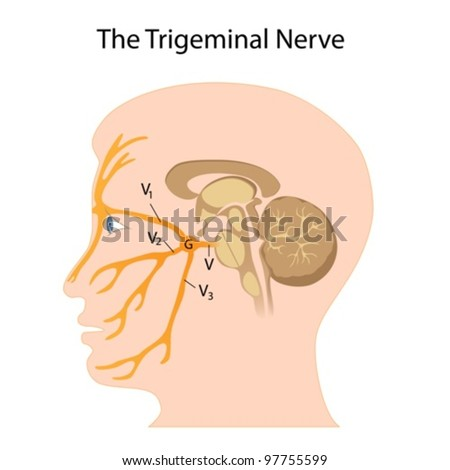 The trigeminal nerve - stock vector