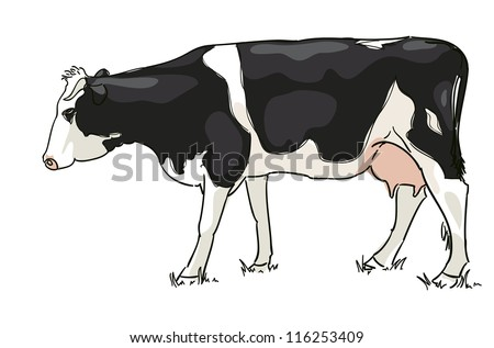 The white and black cow is grazed . Vector illustration. - stock vector