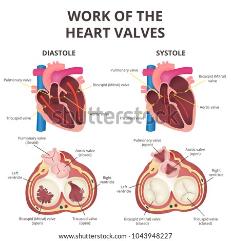 Work heart valves anatomy human heart stock vector 1043948227 the work of heart valves anatomy of the human heart diastole and systole ccuart Image collections