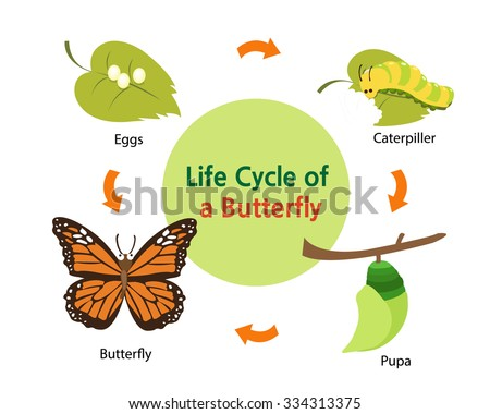 This picture shows the life cycle of a butterfly from an egg to a beautiful butterfly. - stock vector