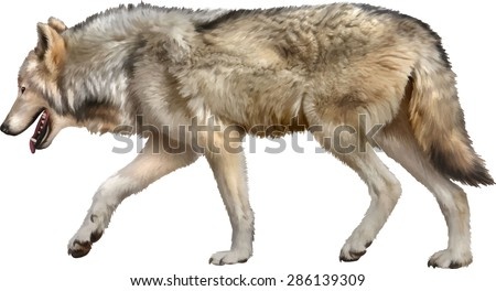 Timber Wolf walking, old European wolf - Canis lupus lupus in front of a white background - stock vector