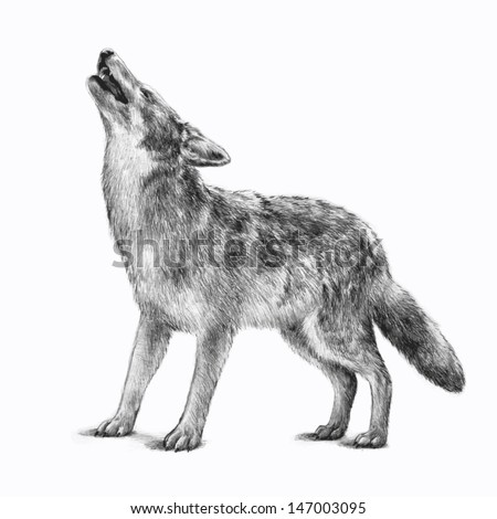 timberwolf or gray wolf vector, wildlife animal icon for business cards or for use as clipart. Image is hand drawn and isolated on white background. Pencil sketch of howling scary wolf for halloween. - stock vector