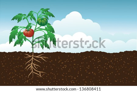 Tomato plant in the garden. EPS 10 vector, grouped for easy editing. No open shapes or paths. - stock vector