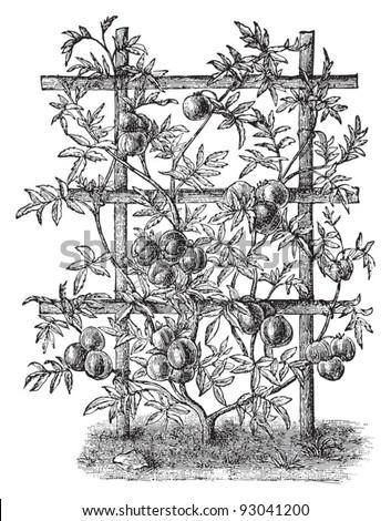 Tomato plant (Lycopersicum esculentum) - vegetable / vintage illustration from Meyers Konversations-Lexikon 1897 - stock vector