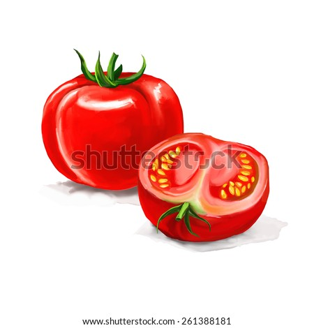 tomato Vector illustration  hand drawn  painted watercolor  - stock vector