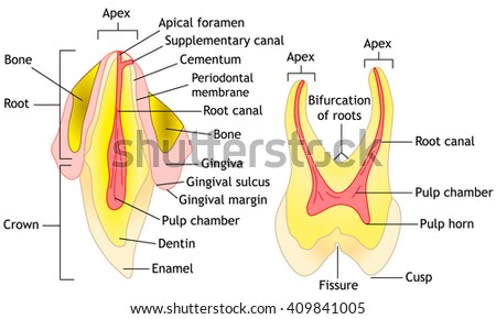 Tooth anatomy diagram, vector illustration