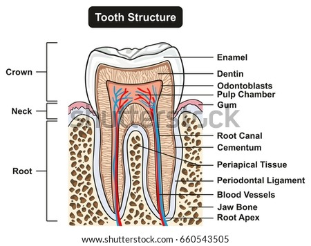 Tooth Cross Section Anatomy All Parts Stock Vector (Royalty Free ...