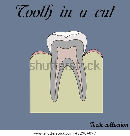 tooth in a cut - molar - tooth anatomy - dentin, enamel, pulp, root, vector for design or printing - stock vector