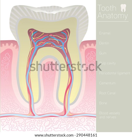 tooth medical anatomy with words - stock vector