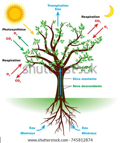 Photosynthesis diagram project circuit wiring and diagram hub tree photosynthesis diagram french stock vector royalty free rh shutterstock com photosynthesis diagram to label photosynthesis projects for high school ccuart Images
