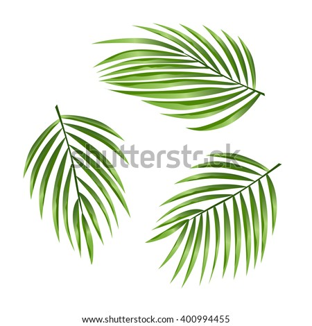 Tropical leaves isolated on white. Summer vector illustration. Date or Coconut palm. - stock vector
