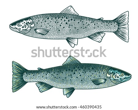 Trout fish. Hand drawn vector illustration