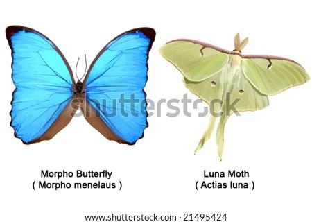 True Morpho Butterfly ( Morpho menelaus ) and Luna Moth (Actias luna ). VECTOR. - stock vector